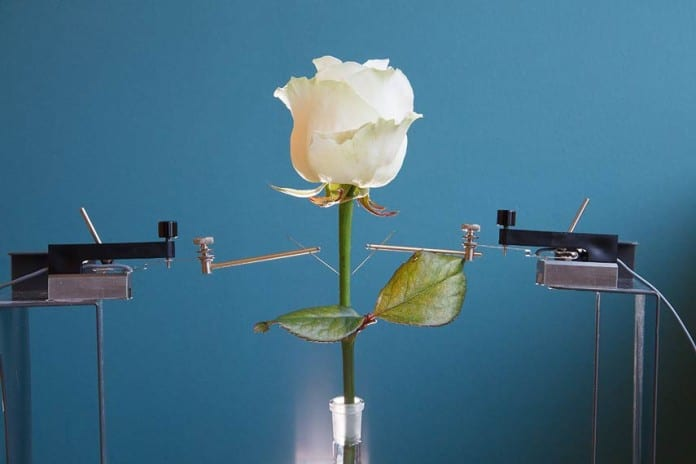 Scientists created a Cyborg Rose -Wired with Self-Growing Circuits